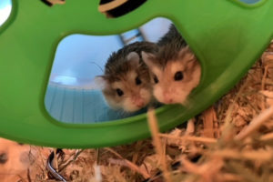 Roborowski-Hamster