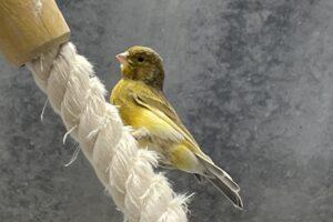 kanarienvogel-fund-Hn