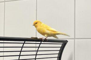kanarienvogel img_2364
