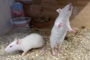albino ratten IMG_6751